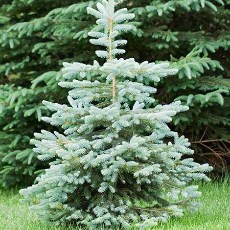 Blue-Wonder-Spruce-450